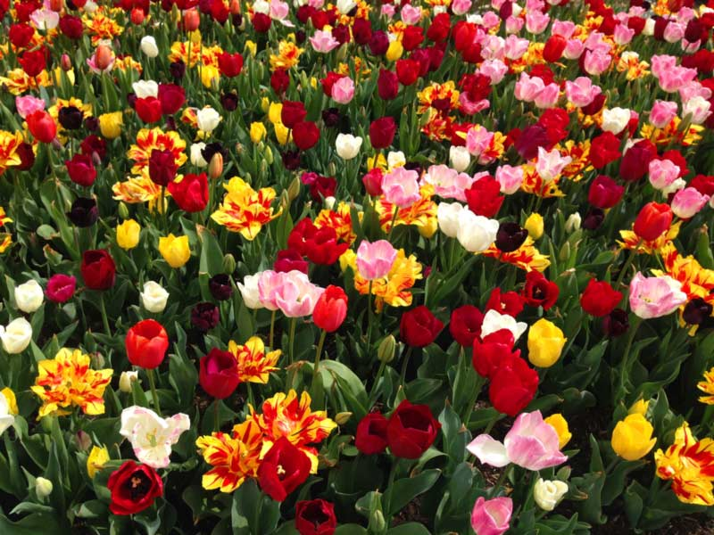 Southern Highlands Tulips